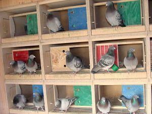 Nasze gołębniki